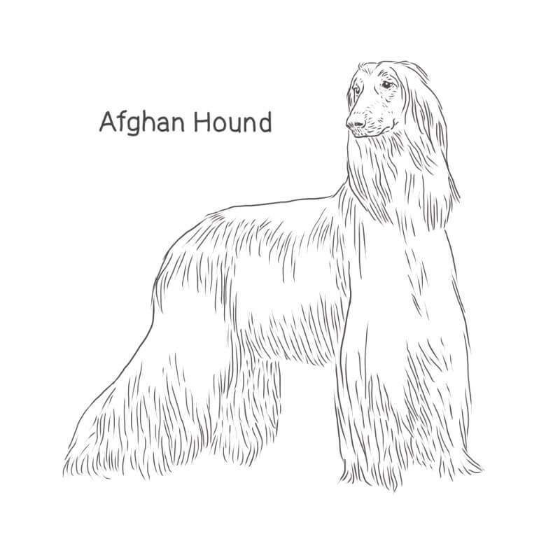Afghan Hound drawing by Dog Breeds List