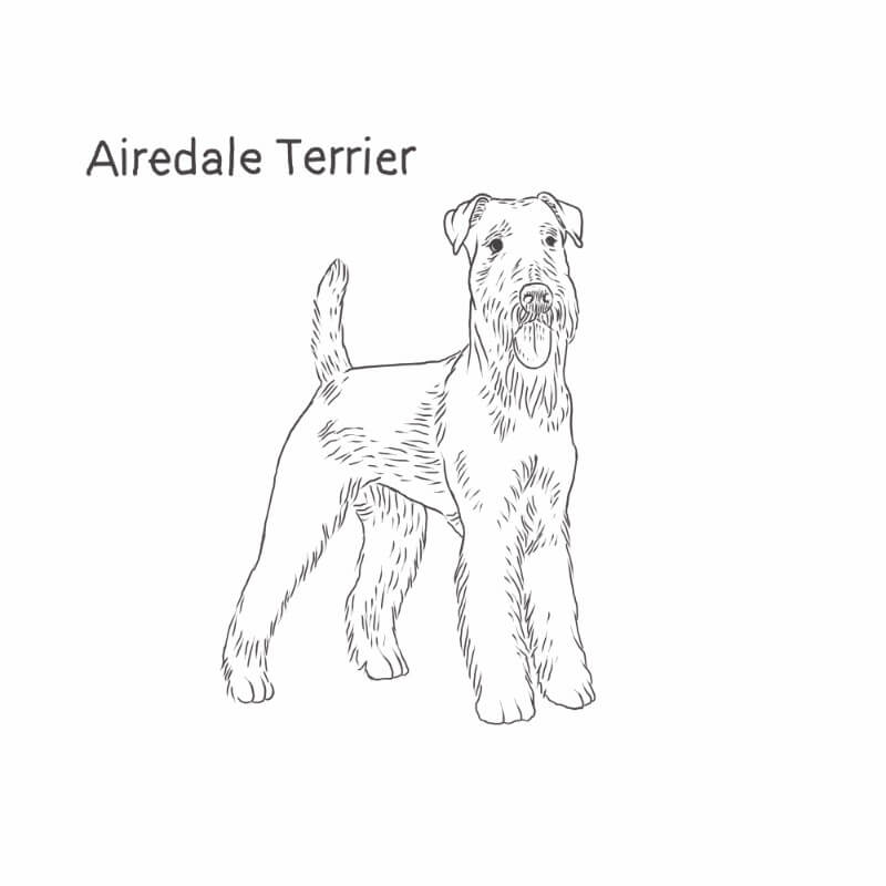 Airedale Terrier drawing by Dog Breeds List