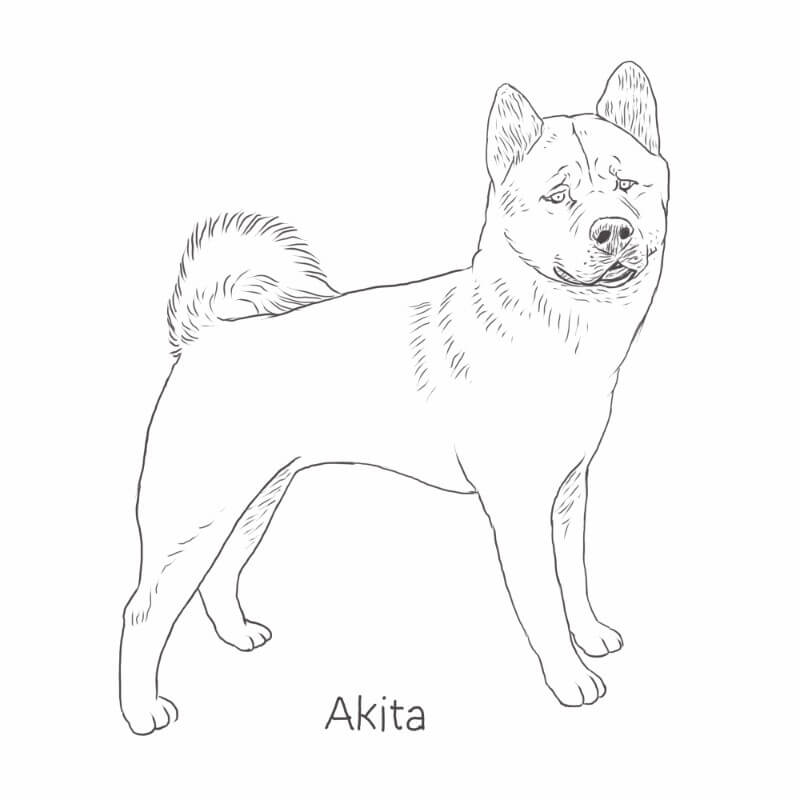 Akita drawing by Dog Breeds List