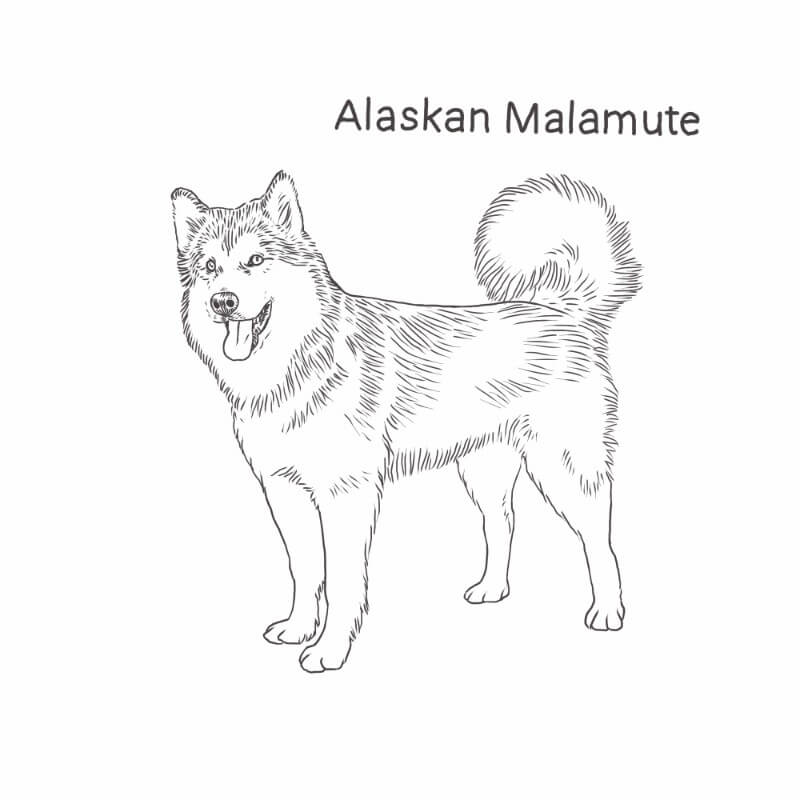 Alaskan Malamute drawing by Dog Breeds List