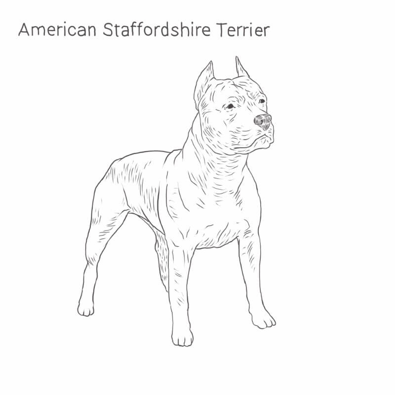 American Staffordshire Terrier drawing by Dog Breeds List