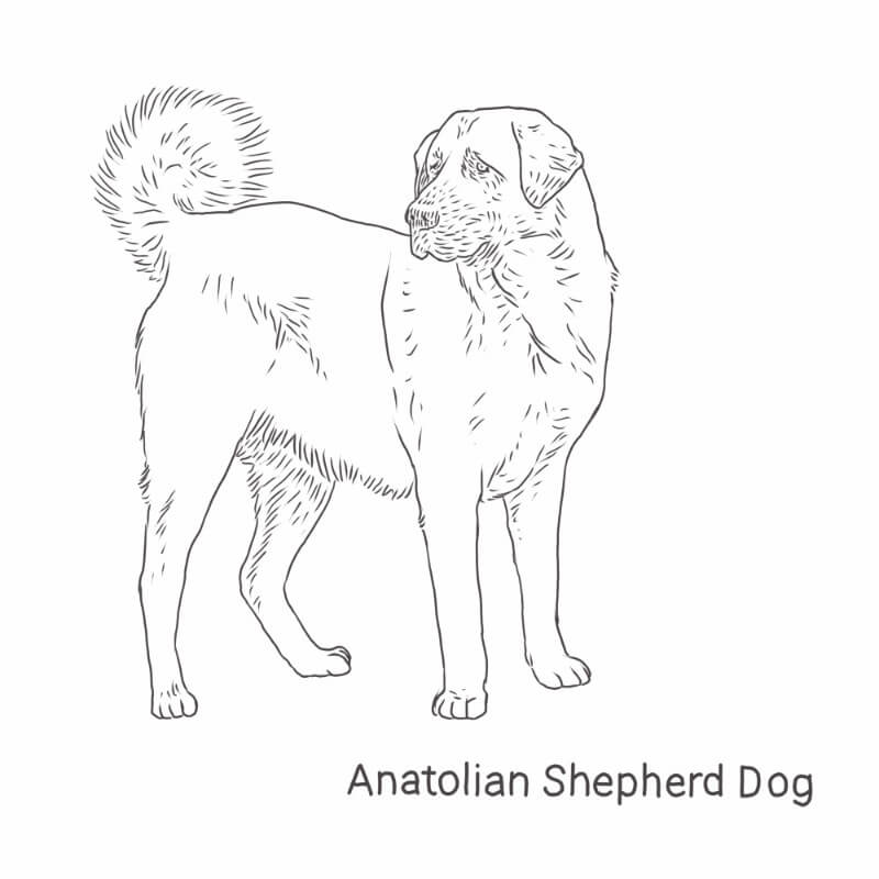 Anatolian Shepherd Dog drawing by Dog Breeds List