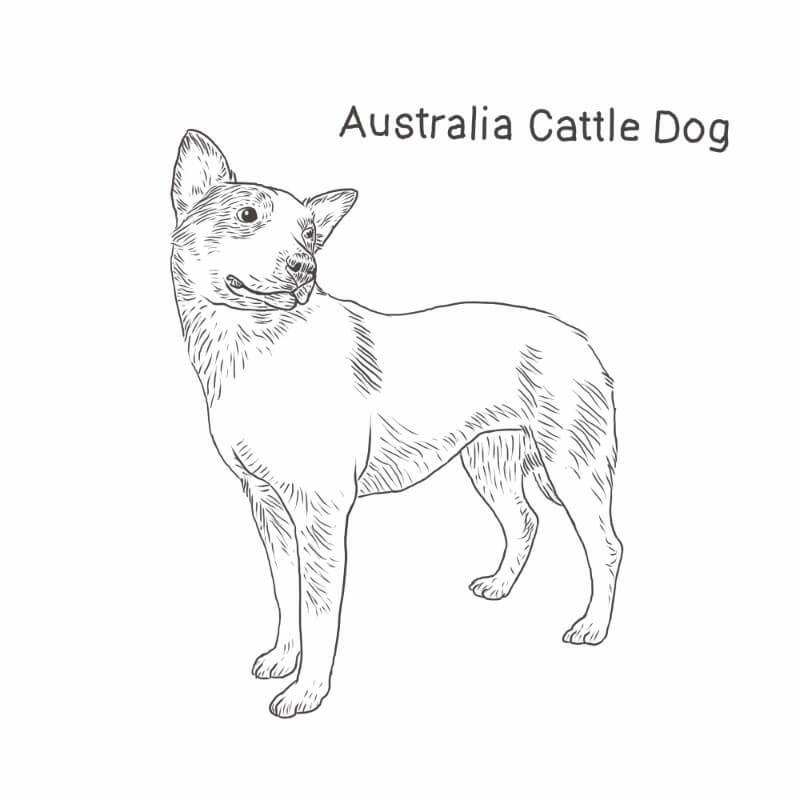 Australian Cattle Dog drawing by Dog Breeds List