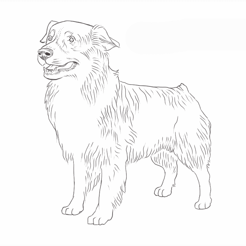 Australian Shepherd drawing