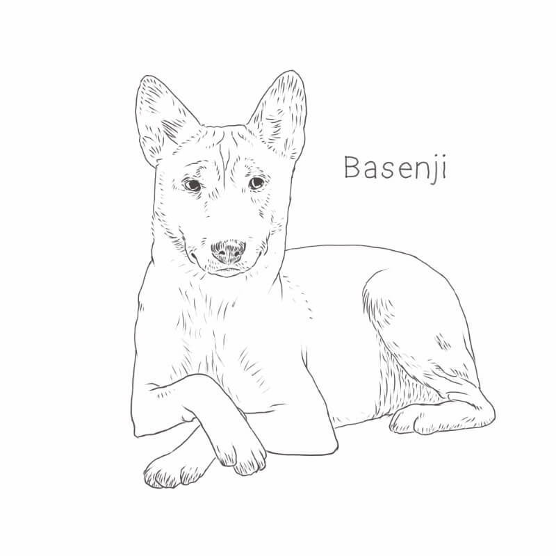 Basenji drawing by Dog Breeds List