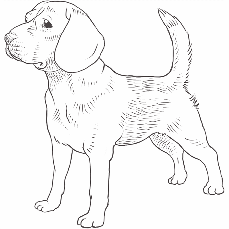 Beagle dog drawing by Dog Breeds List