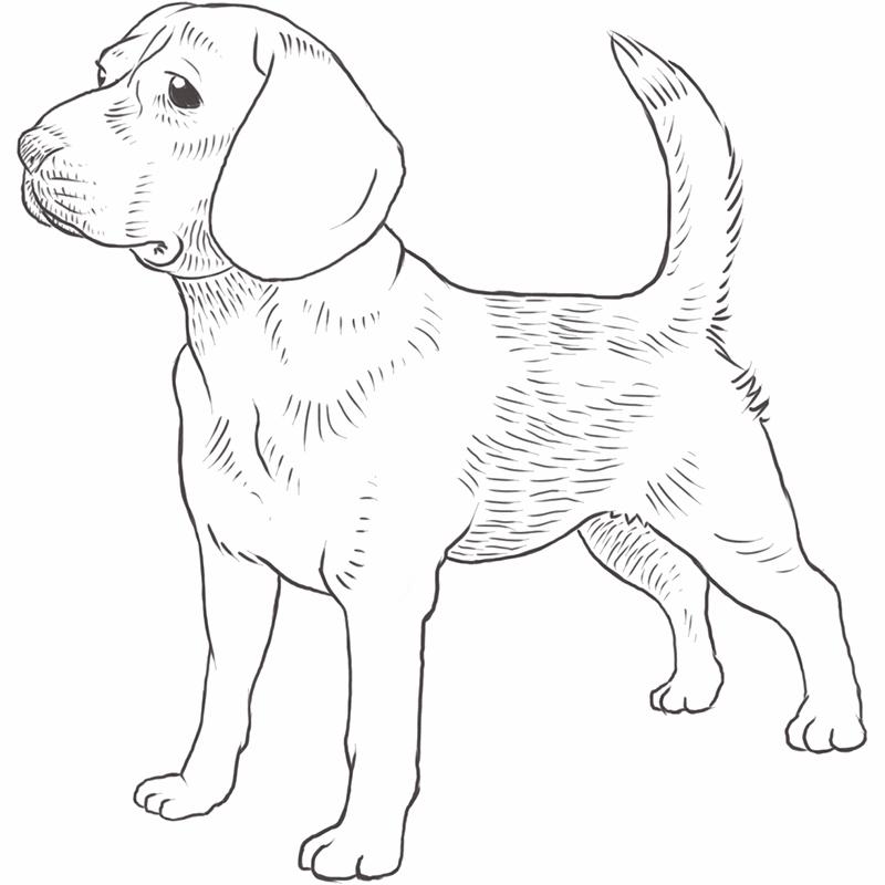 Beagle dog drawing by Dog Breeds List