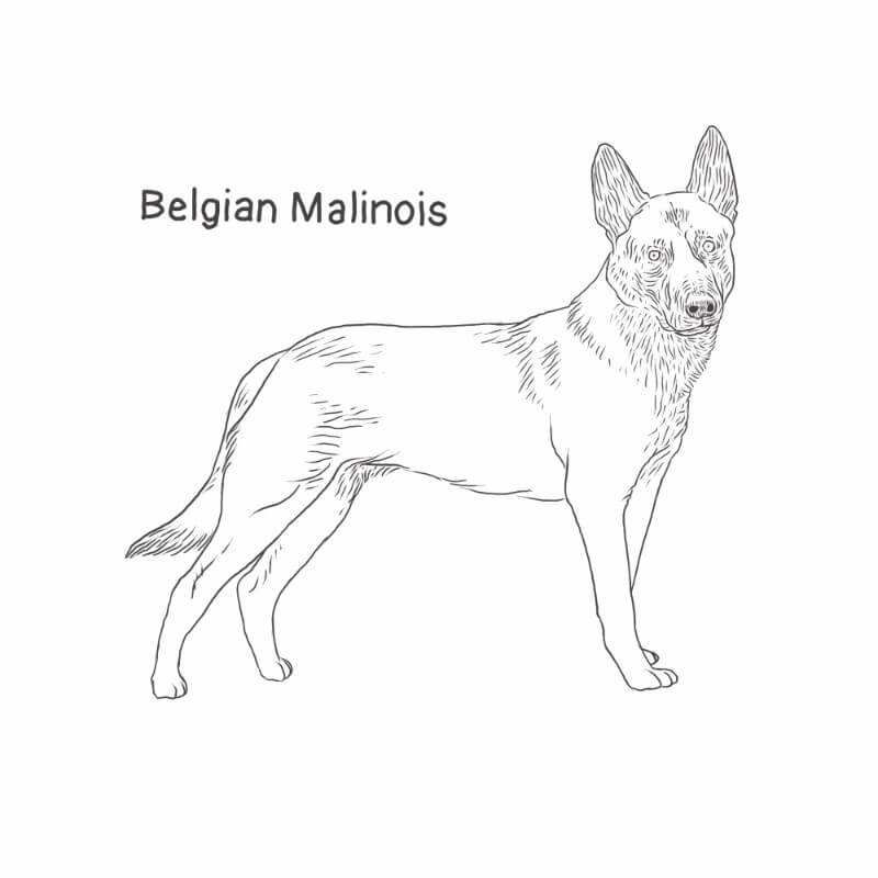 Belgian Malinois drawing by Dog Breeds List
