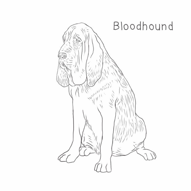 Bloodhound drawing by Dog Breeds List