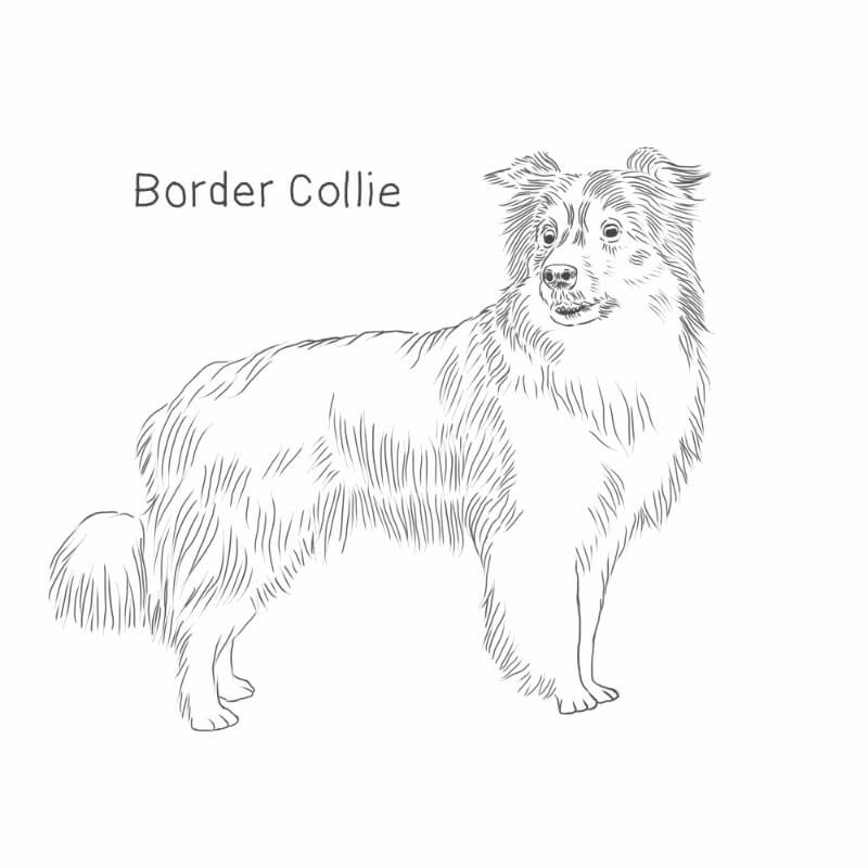 Border Collie drawing by Dog Breeds List