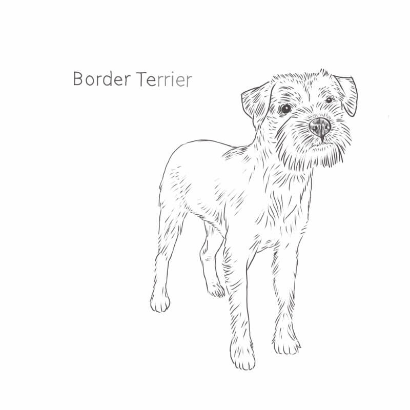 Border Terrier drawing by Dog Breeds List