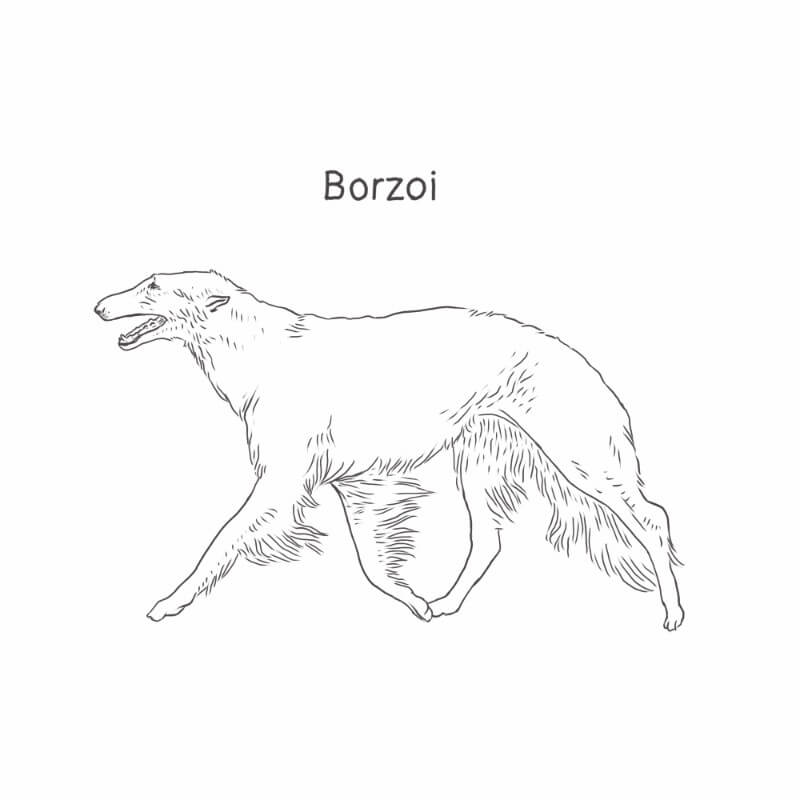 Borzoi drawing by Dog Breeds List