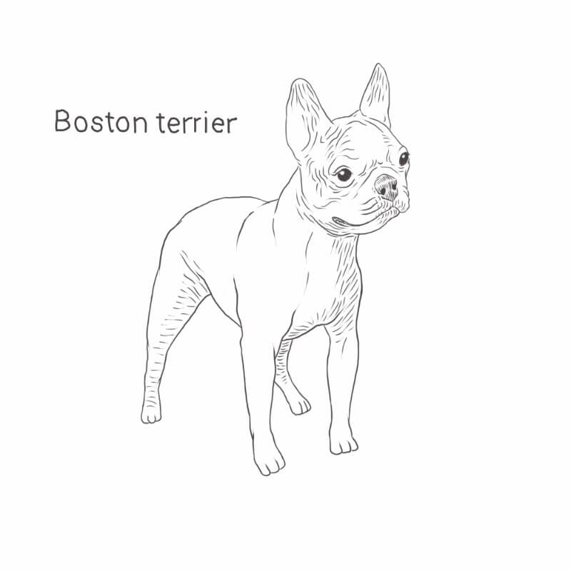 Boston Terrier drawing by Dog Breeds List