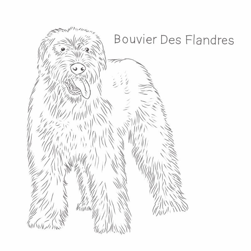 Bouvier Des Flandres drawing by Dog Breeds List