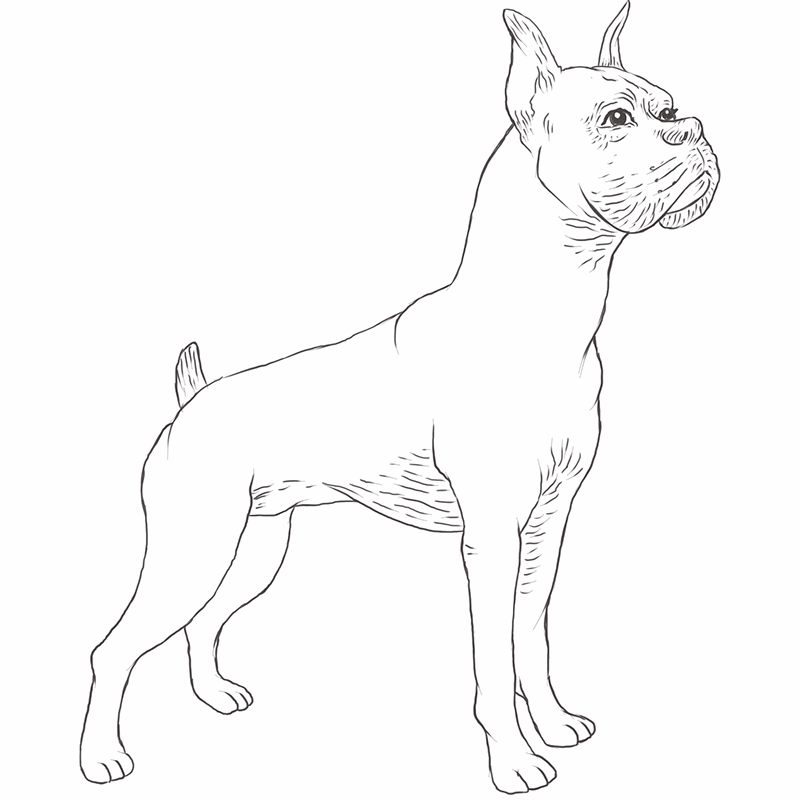 Boxer Dog drawing by Dog Breeds List