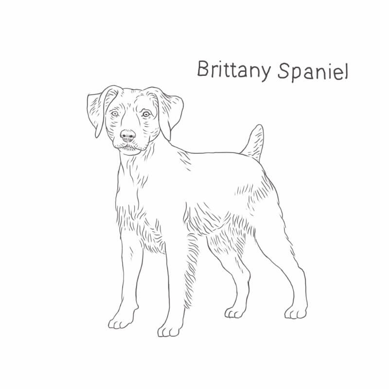 Brittany Spaniel drawing by Dog Breeds List