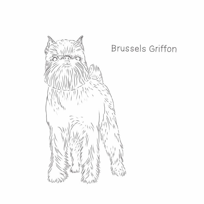 Brussels Griffon drawing by Dog Breeds List
