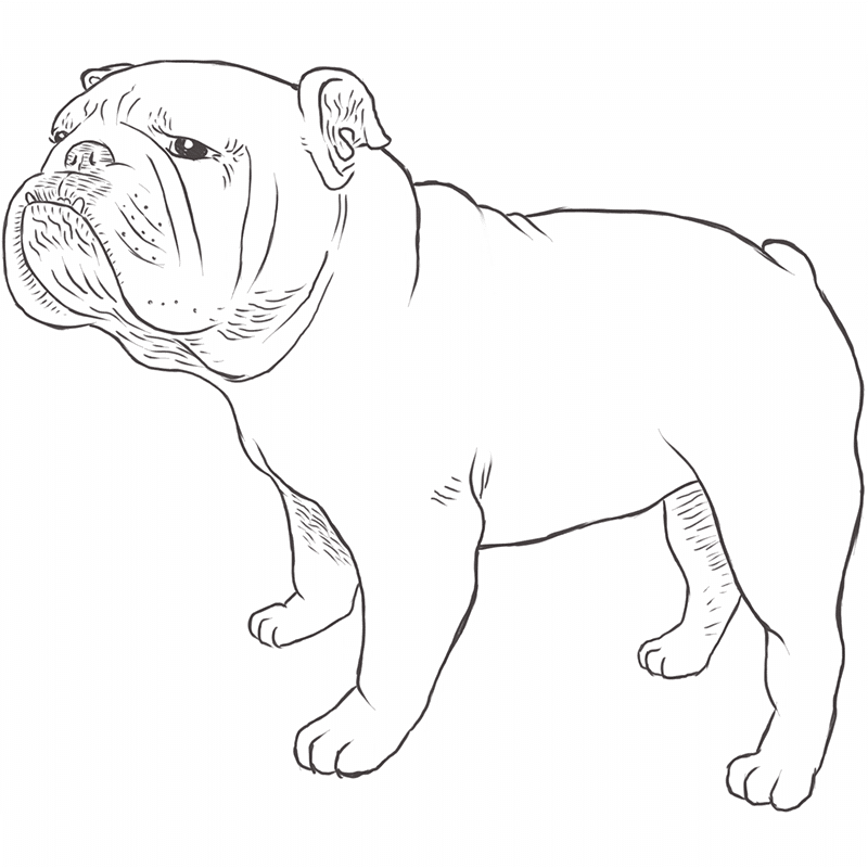 Bulldog drawing by Dog Breeds List