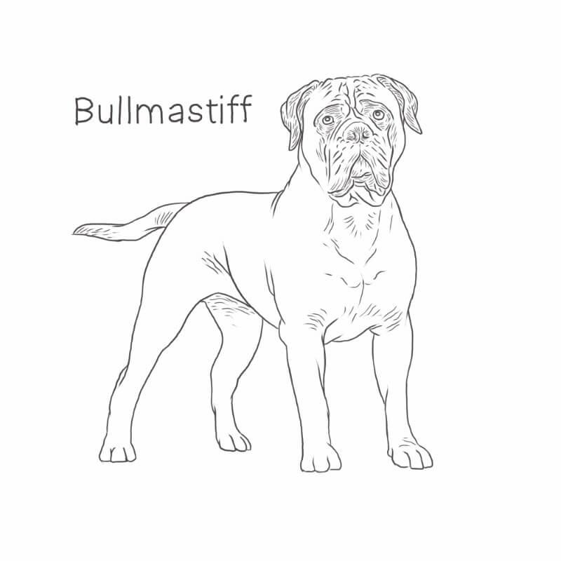 Bullmastiff drawing by Dog Breeds List