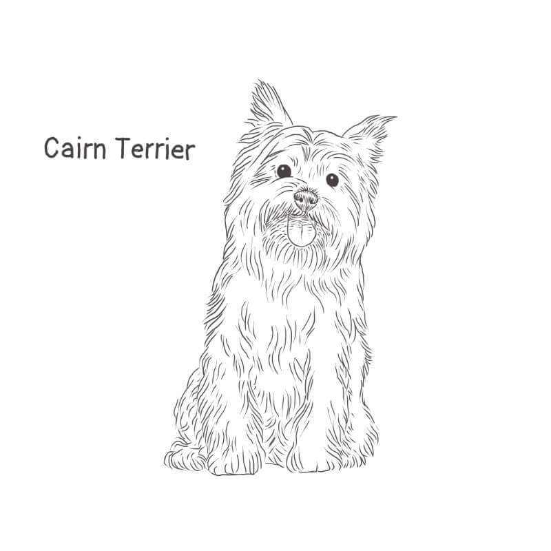 Cairn Terrier drawing by Dog Breeds List