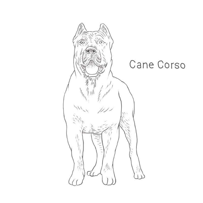 Cane Corso drawing by Dog Breeds List