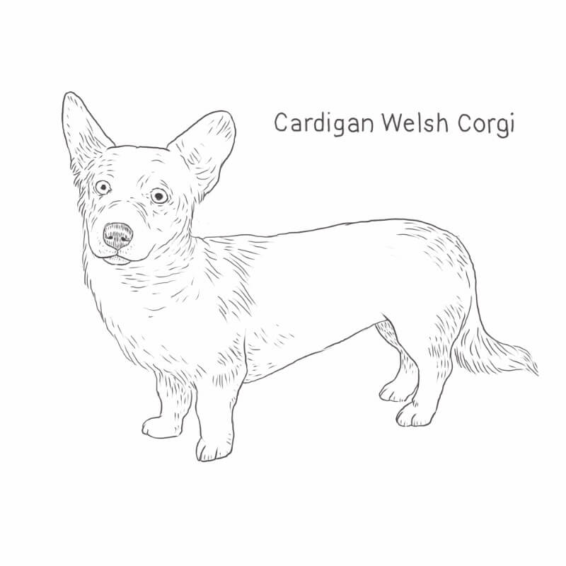 Cardigan Welsh Corgi drawing by Dog Breeds List
