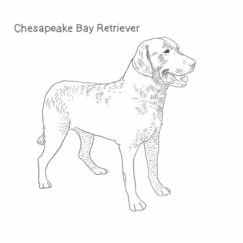 Chesapeake Bay Retriever drawing by Dog Breeds List