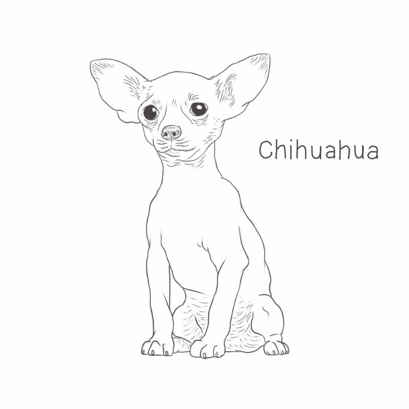 Chihuahua drawing by Dog Breeds List