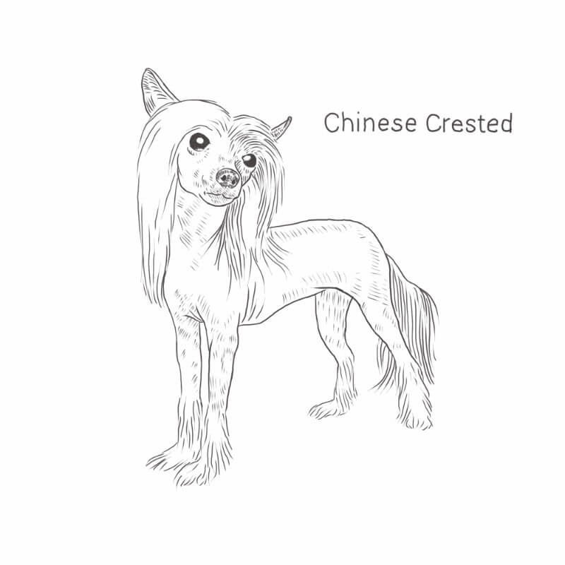 Chinese Crested drawing by Dog Breeds List