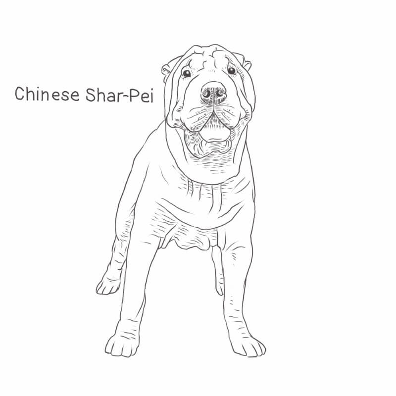 Chinese Shar-Pei drawing by Dog Breeds List