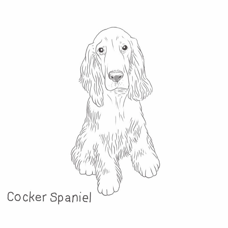 Cocker Spaniel drawing by Dog Breeds List