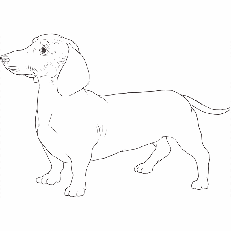Dachshund drawing by Dog Breeds List