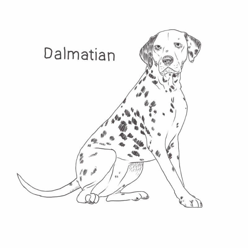 Dalmatian drawing by Dog Breeds List