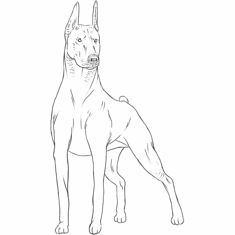Doberman Pinscher drawing by Dog Breeds List