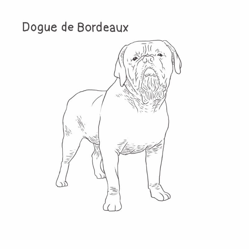 Dogue de Bordeaux drawing by Dog Breeds List