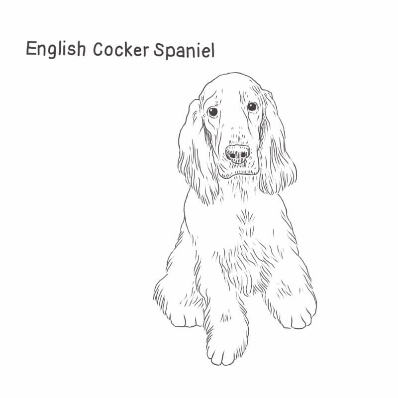 English Cocker Spaniel drawing by Dog Breeds List