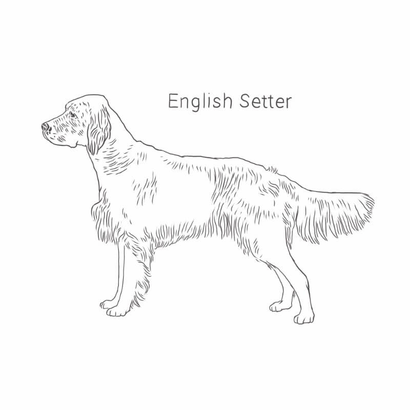 English Setter drawing by Dog Breeds List
