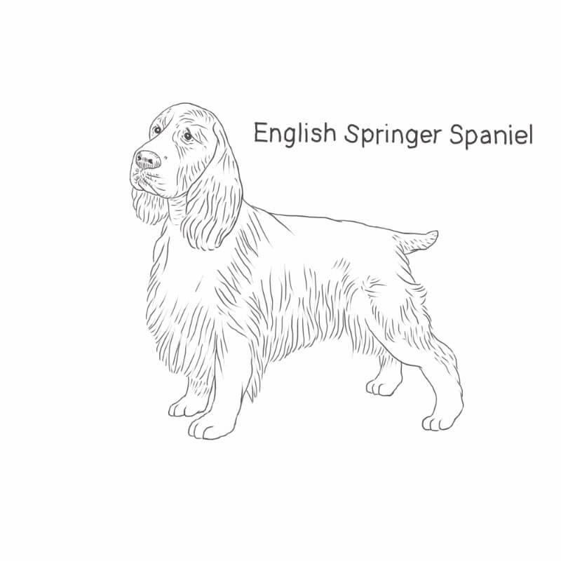 English Springer Spaniel drawing
