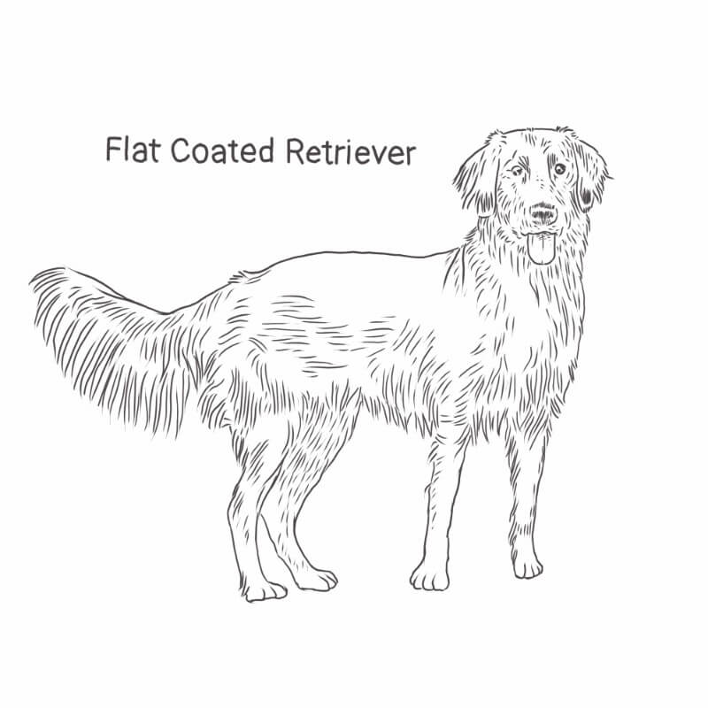 Flat Coated Retriever drawing by Dog Breeds List
