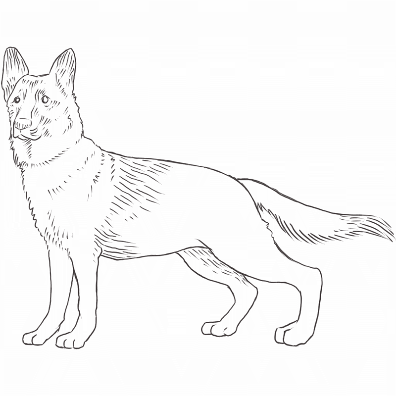German Shepherd Dog drawing by Dog Breeds List