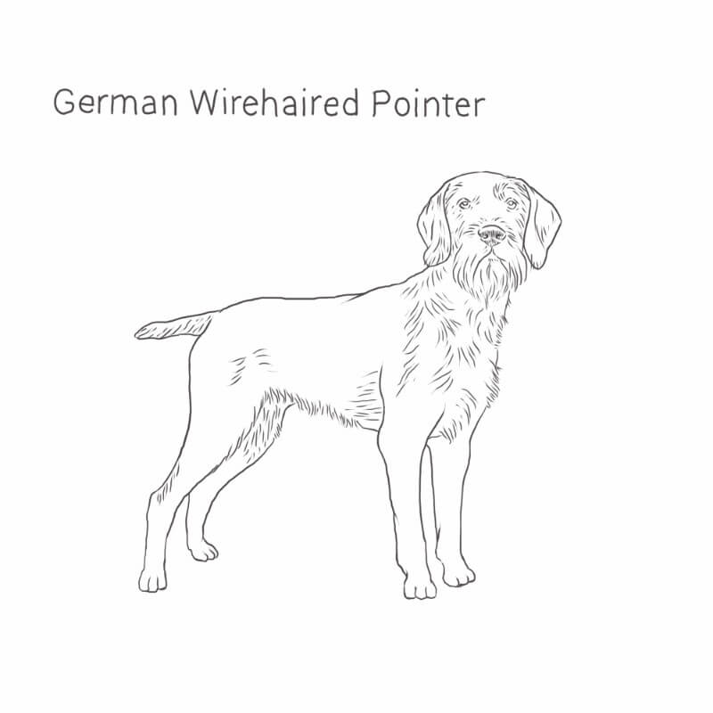 German Wirehaired Pointer drawing by Dog Breeds List