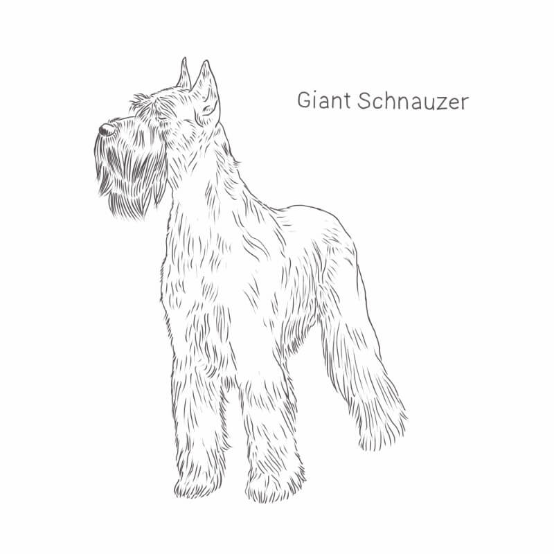 Giant Schnauzer drawing by Dog Breeds List