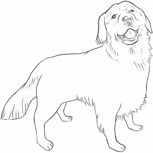 Golden Retriever drawing by Dog Breeds List