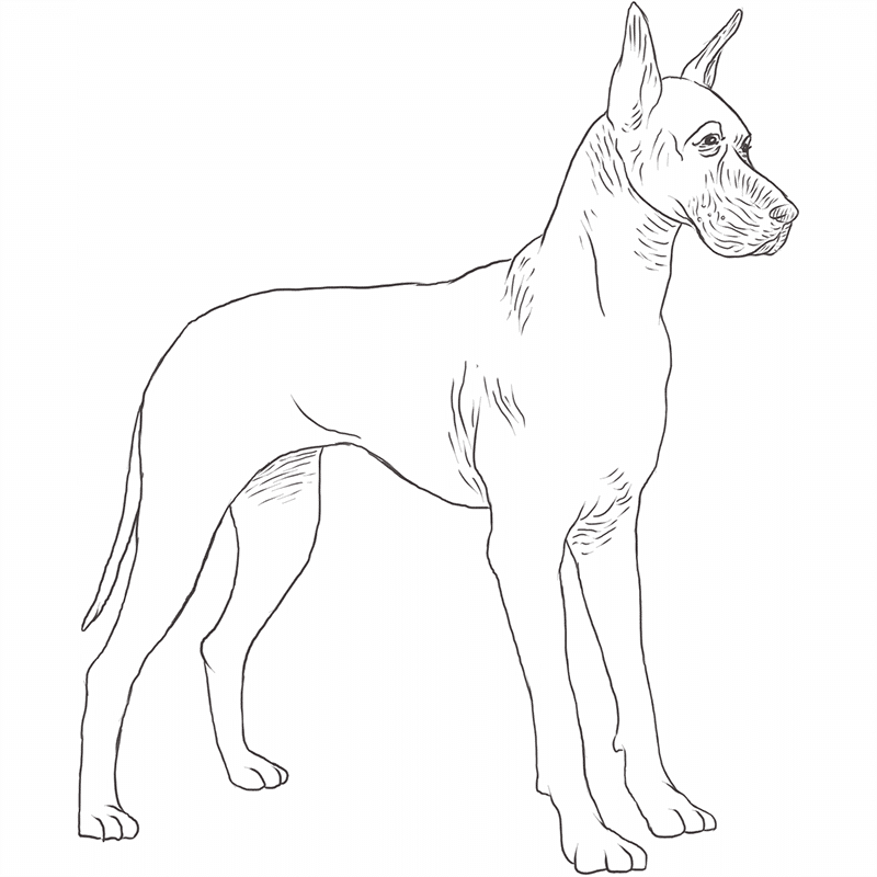 Great Dane drawing by Dog Breeds List