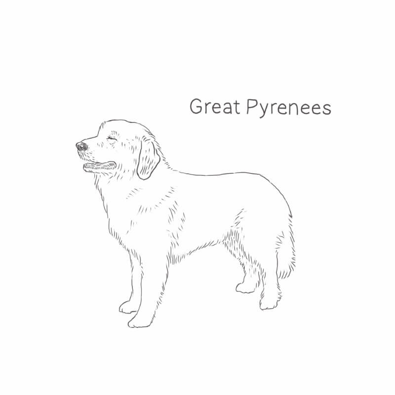 Great Pyrenees drawing by Dog Breeds List