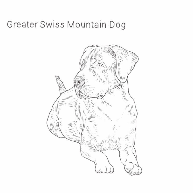 Greater Swiss Mountain Dog drawing by Dog Breeds List