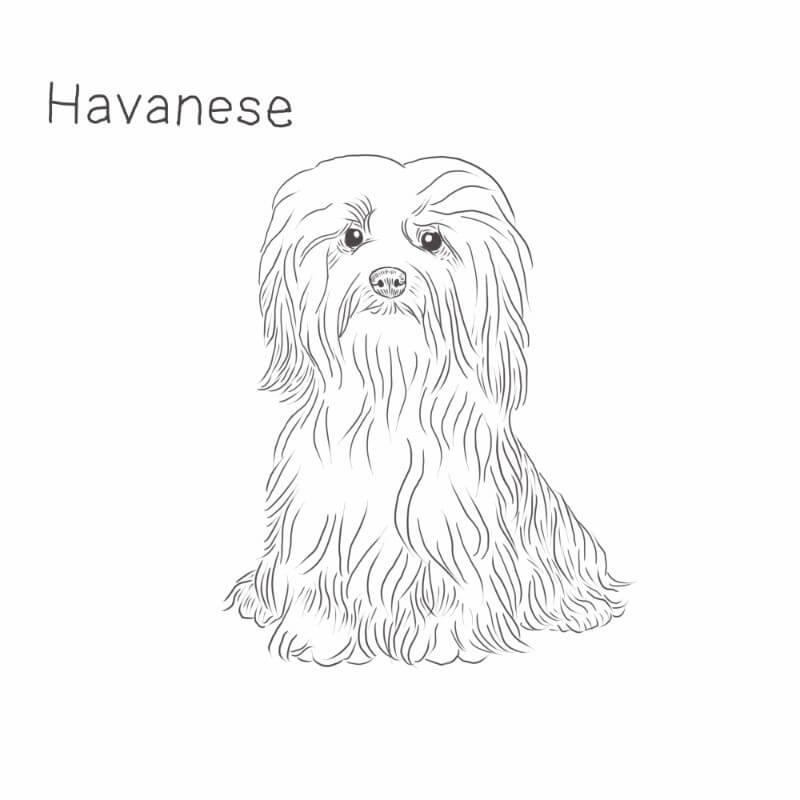 Havanese dog drawing by Dog Breeds List