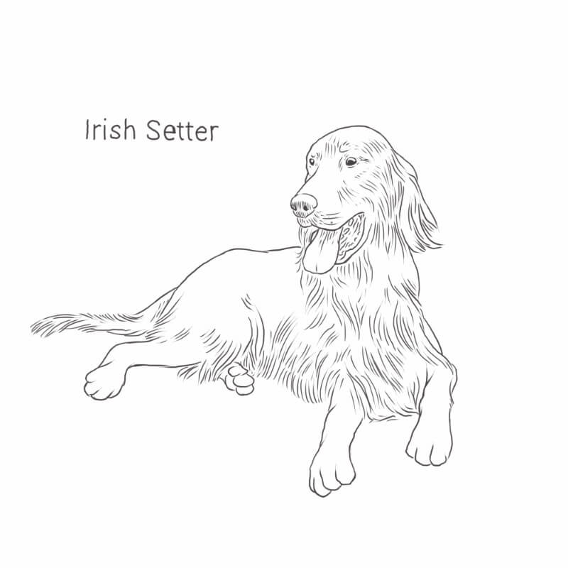 Irish Setter drawing by Dog Breeds List