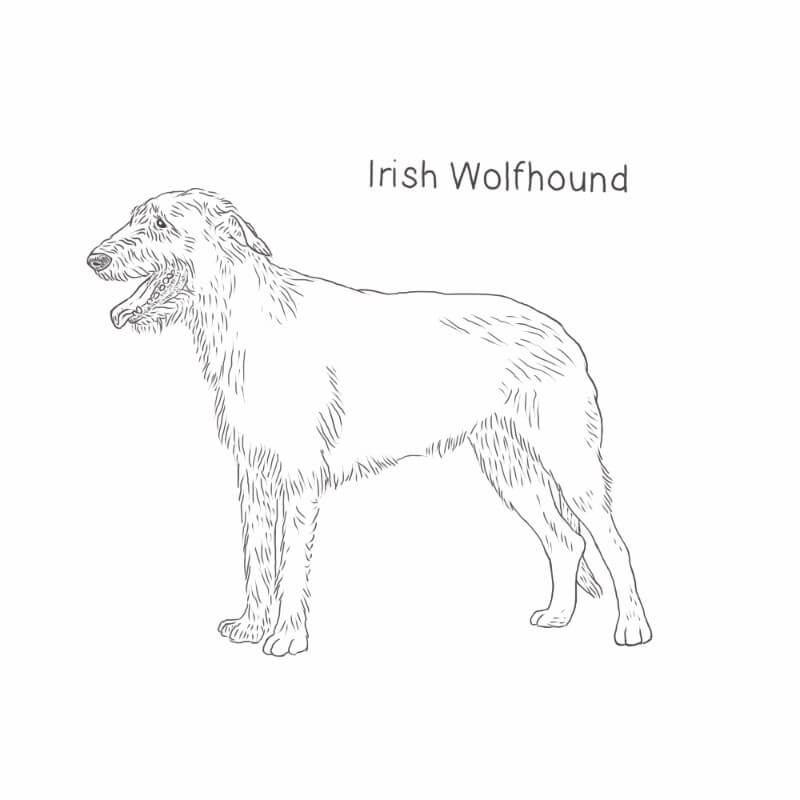 Irish Wolfhound drawing by Dog Breeds List