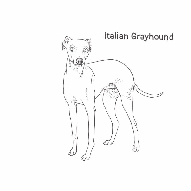 Italian Greyhound drawing (misspelled) by Dog Breeds List